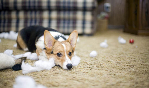 Affordable And Pet-Friendly Carpet Cleaner
